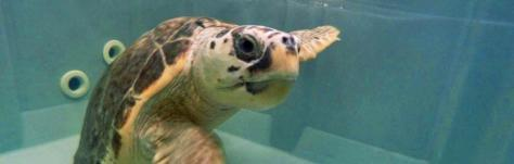 rilascio tartarughe