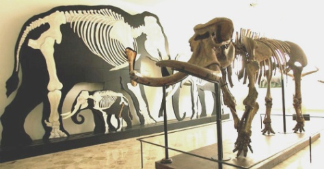museo-di-paleontologia-geologia-gemmellaro-elefante-nano