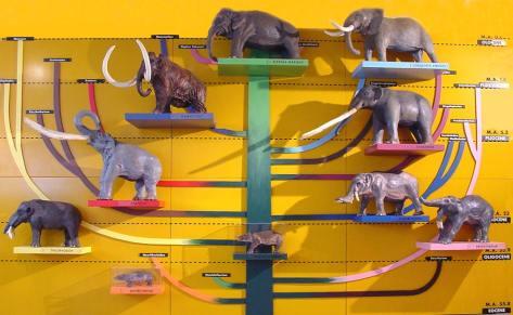 Pannelo evoluzione elefanti al Museo di Geologia Gemmellaro
