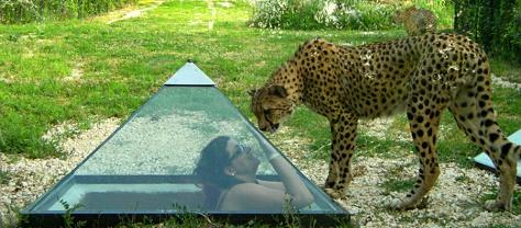 parco zoo falconara marittima, i ghepardi