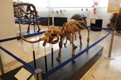 Museo di Geologia Gemmellaro-elefante nano