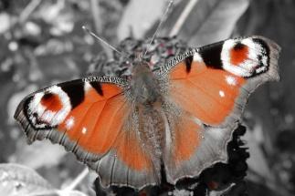 Butterfly Arc6