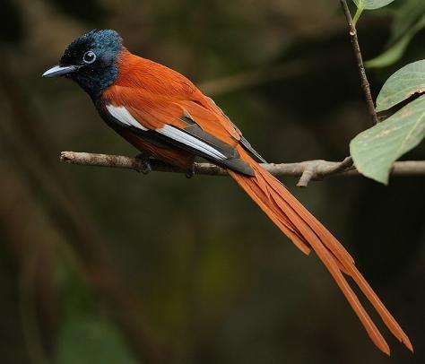 Seychelles_Red-bellied_Paradise_Flycatcher